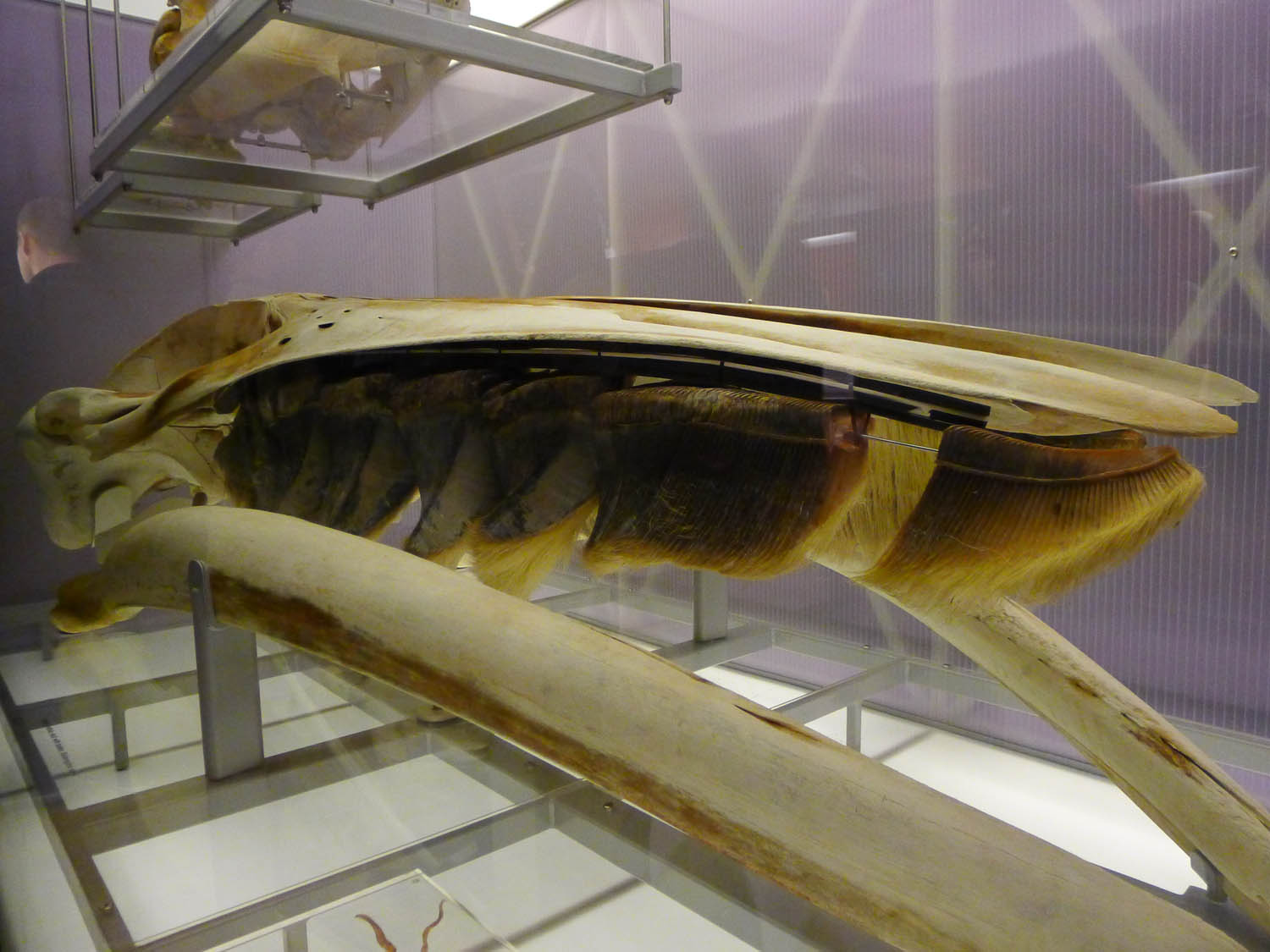 Baleen - the filter-feeder system inside whales' mouths