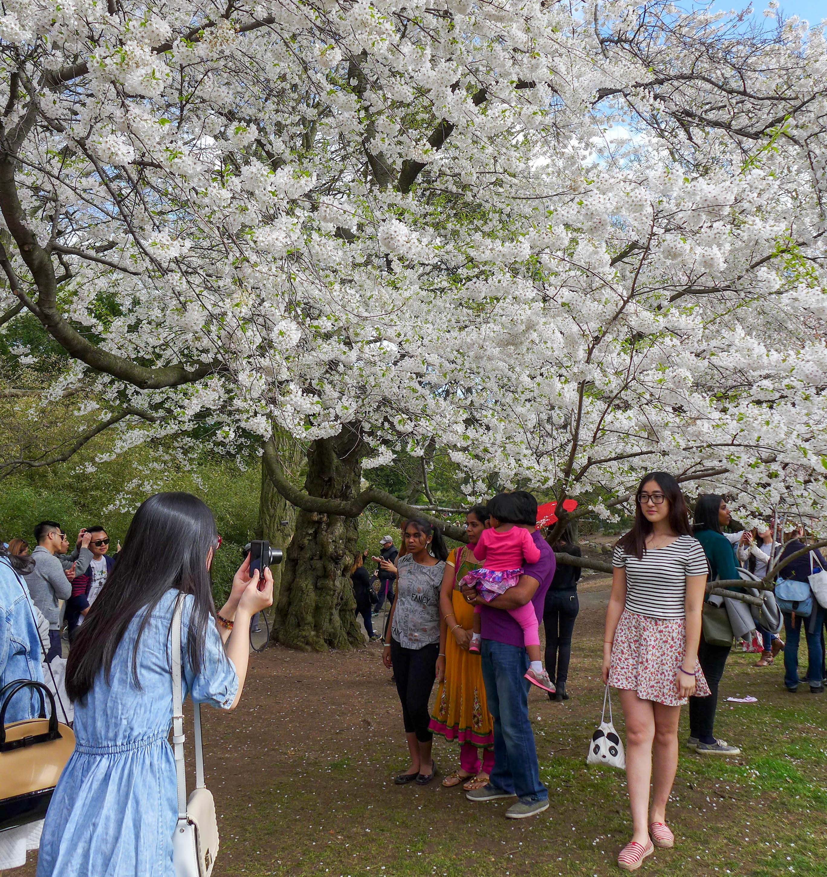 barely saw the cherry blossoms at brooklyn botanic gardens